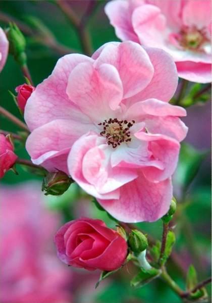 Купить фотообои для стен: Чайная роза