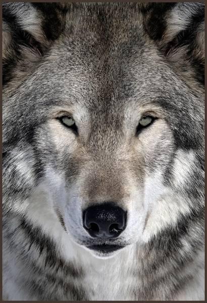 Купить фотообои для стен: Волк
