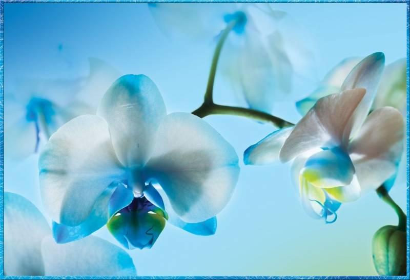Купить фотообои для стен: Голубая орхидея