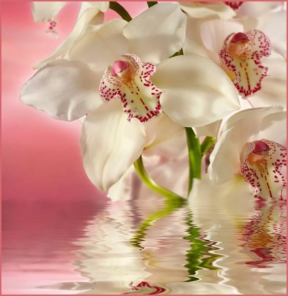 Купить фотообои для стен: Розовая орхидея