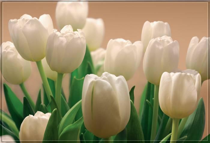 Купить фотообои для стен: Белые тюльпаны