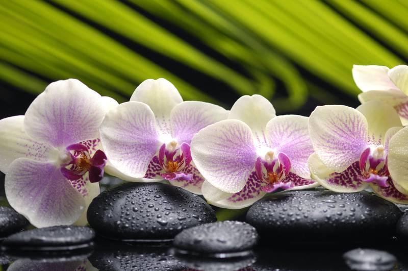 Купить фотообои для стен: Орхидеи 1
