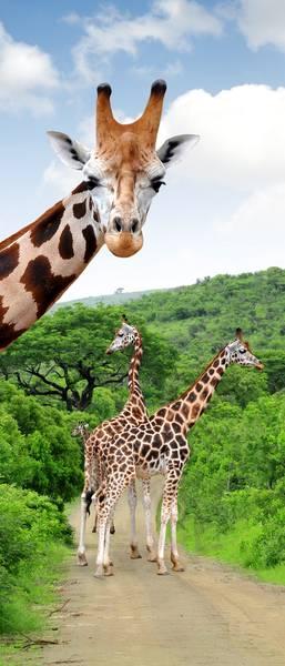 Купить фотообои для стен: Жирафы