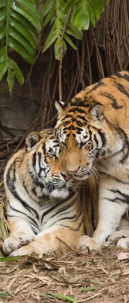Купить фотообои для стен: Тигры
