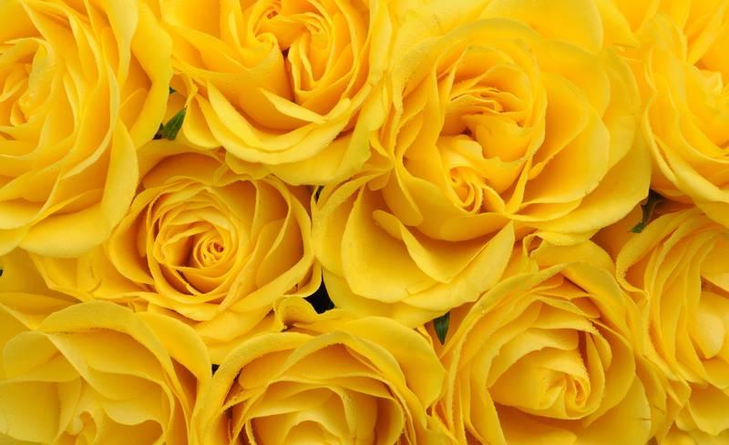 Купить фотообои для стен: Желтые розы