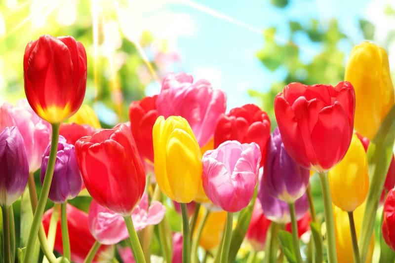 Купить фотообои для стен: Солнечные тюльпаны