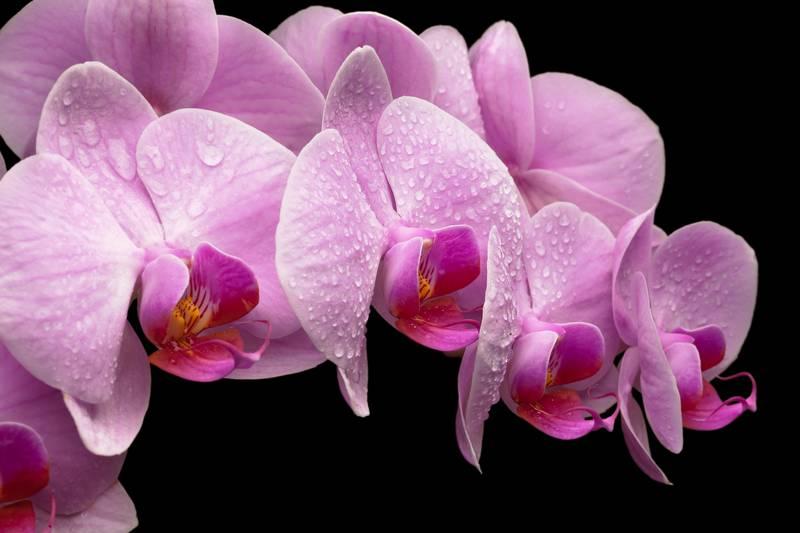 Купить фотообои для стен: Пурпурные орхидеи