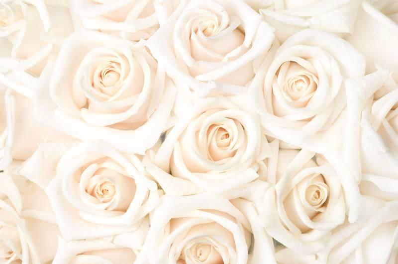 Купить фотообои для стен: Кремовые розы