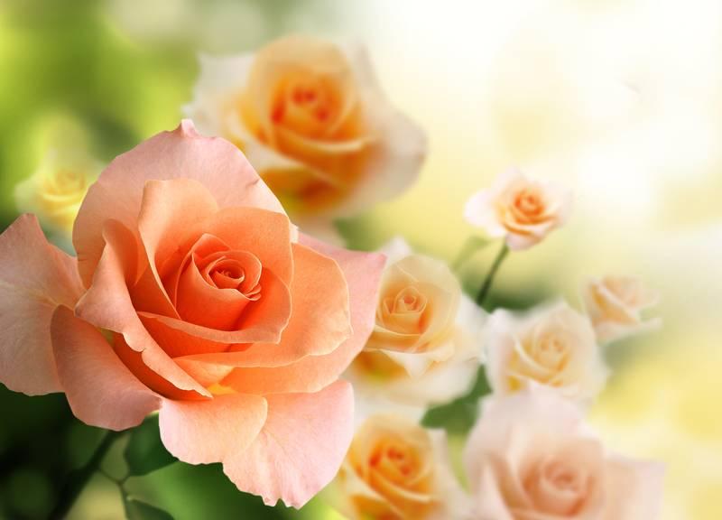 Купить фотообои для стен: Розовые розы в саду