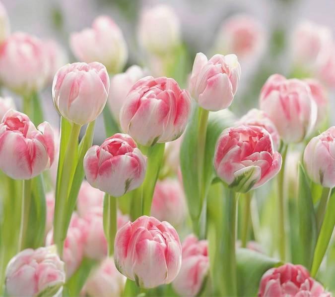 Купить фотообои для стен: Тюльпаны +