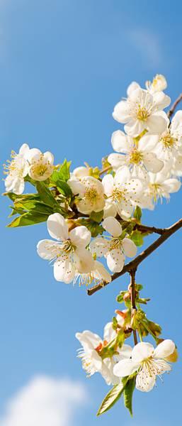Купить фотообои для стен: Яблоня в цвету