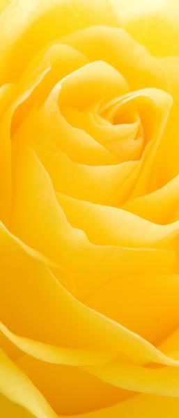Купить фотообои для стен: Желтая роза