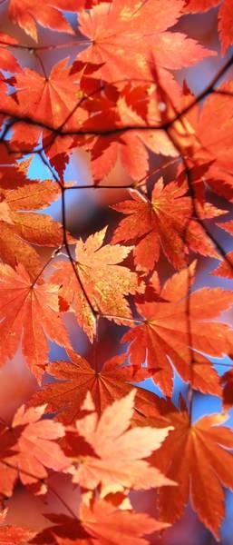 Купить фотообои для стен: Кленовые листья