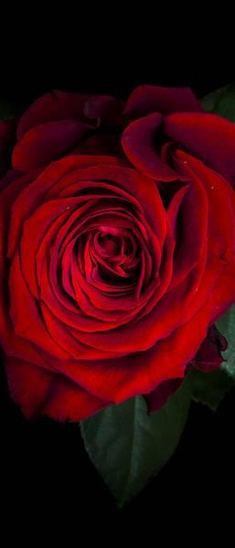 Купить фотообои для стен: Красная роза