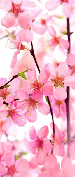 Купить фотообои для стен: Цветение сакуры