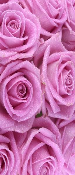 Купить фотообои для стен: Фиолетовые розы