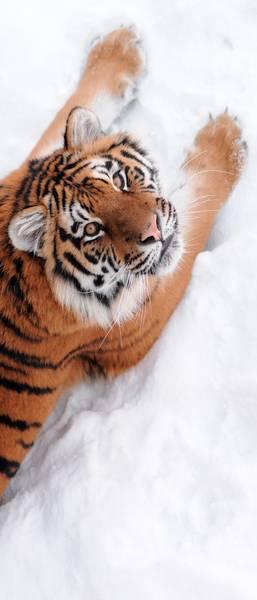 Купить фотообои для стен: Тигр на снегу