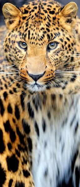 Купить фотообои для стен: Леопард