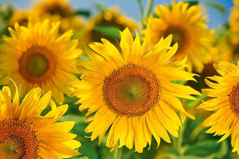 Цветы подсолнухи поле фотографии фото