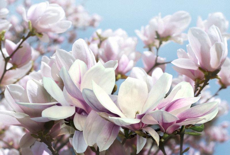 Купить фотообои для стен: Магнолия в цвету