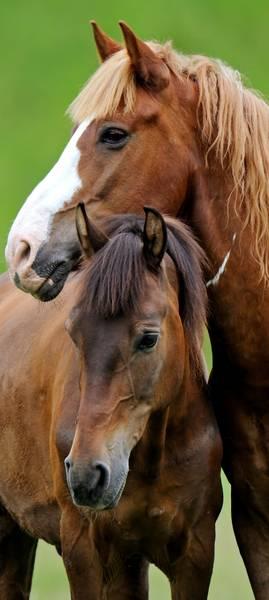 Купить фотообои для стен: Лошадки