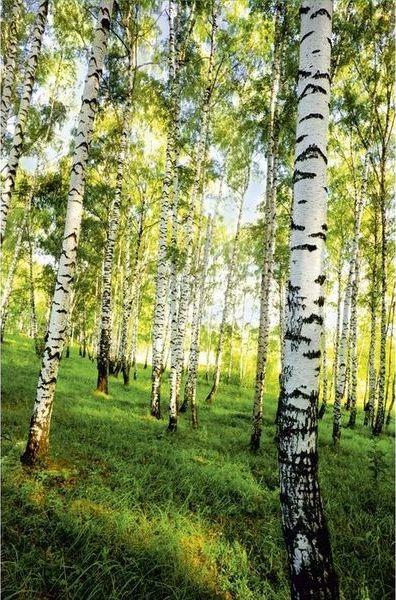 Купить фотообои для стен: Березовый лес