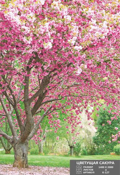 Купить фотообои для стен: Цветущая сакура