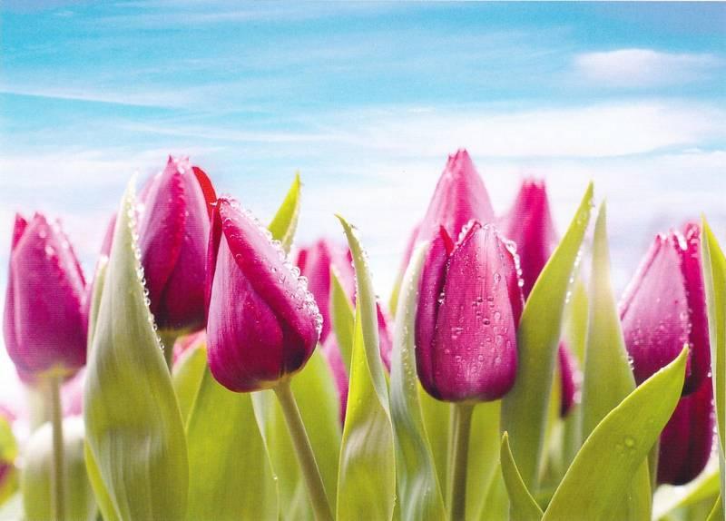 Купить фотообои для стен: Тюльпаны в росе