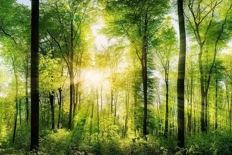 Купить фотообои для стен: Лес
