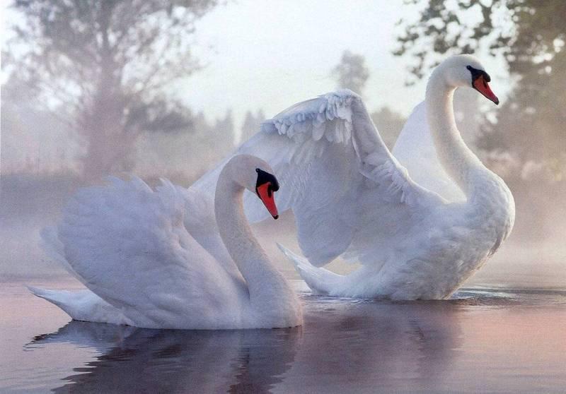 Купить фотообои для стен: Лебеди