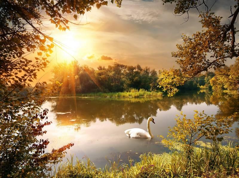 Купить фотообои для стен: Лебедь на пруду