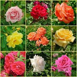 Калейдоскоп из роз