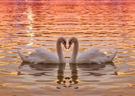 Лебединая нежность