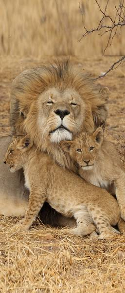 Лев с тигрятами